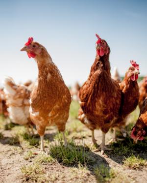 backyard chickens in pa